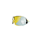 White Yellow Butterfly Fish
