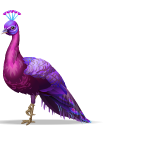 Animated Magenta Peacock