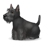 Gray Scottish Terrier