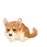 Cute Corgi Dog